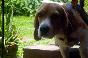 brandy beagle 1 How To Start A Dog Breeding Business